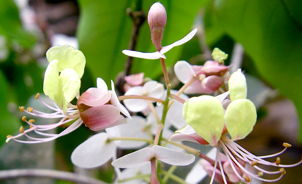L' Annea laxiflora, l'une des deux plantes ayant fait l'objet d'un nouveau classement et portant le nom d'«Annea» en l'honneur d'Anne Bruneau. Pour plus de détails, voir la section « Pour en savoir plus du profil de recherche ». - © Xander van der Burgt